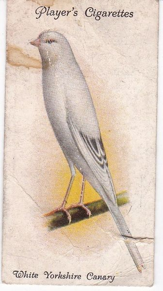 No. 05 White Yorkshire Canary