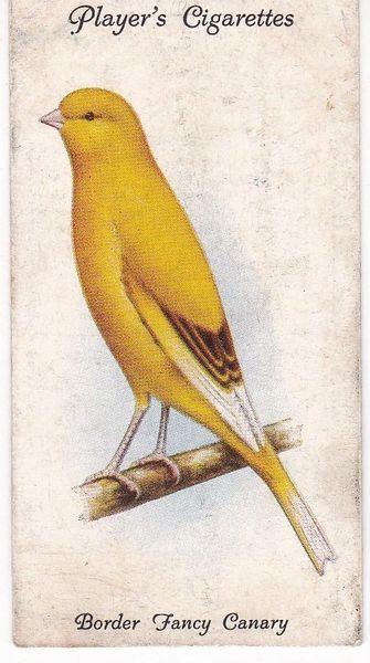 No. 07 Border Fancy Canary