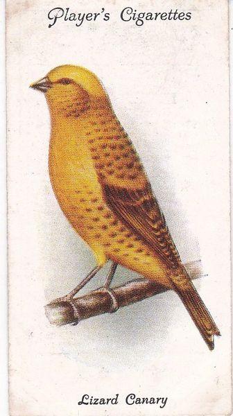 No. 09 Lizard Canary
