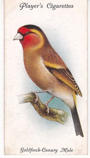 No. 14 Goldfinch-Canary Mule