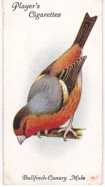 No. 15 Bullfnch-Canary Mule
