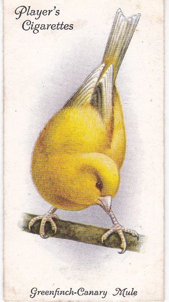 No. 16 Greenfinch-Canary Mule