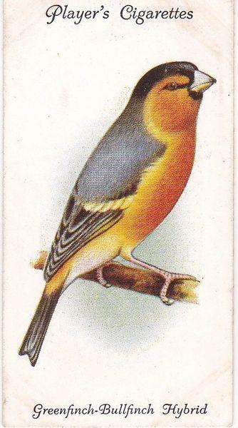No. 17 Greenfinch-Bullfinch Hybrid