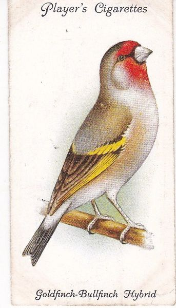 No. 18 Goldfinch-Bullfinch Hybrid