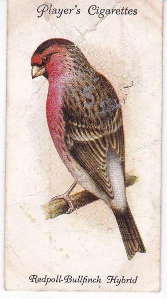 No. 19 Redpoll-Bullfinch Hybrid