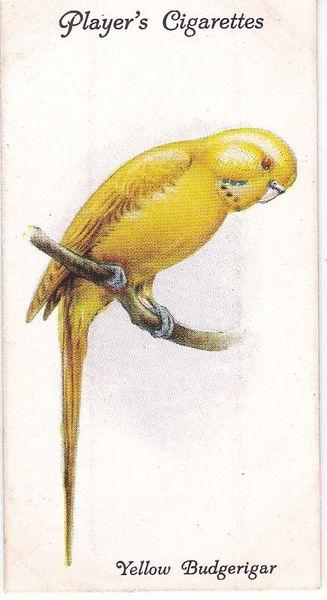 No. 21 Yellow Budgerigar