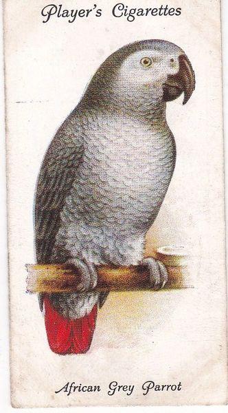No. 24 African Grey Parrot