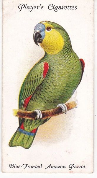 No. 26 Blue-Fronted Amazon Parrot