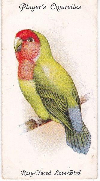 No. 29 Rosy- or Peach-faced Love-Bird
