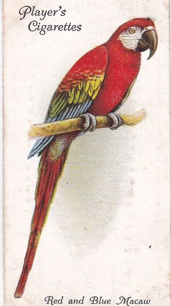 No. 30 Red and Blue Macaw