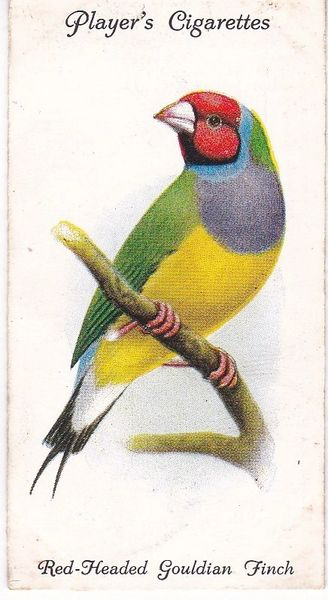 No. 32 Red-Headed Gouldian Finch