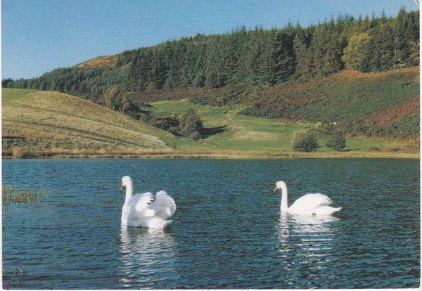 Post Card Scotland Highland Strathpeffer Spa Golf Course Peaceful scene on the pond swans Dixon L6/SP.10820 Catherine R. McLeod 1991