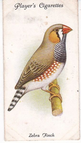 No. 34 Zebra Finch