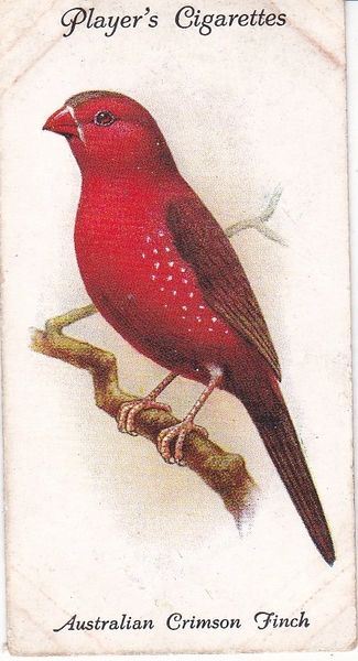 No. 37 Australian Crimson Finch