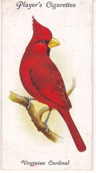 No. 41 Virginian Cardinal