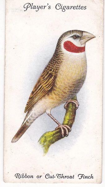 No. 42 Ribbon or Cut-Throat Finch