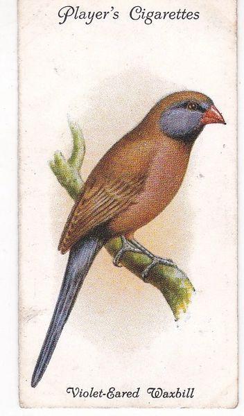 No. 43 Violet-Eared Waxbill