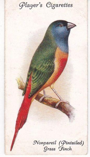 No. 47 Nonpareil (Pintailed) Grass Finch