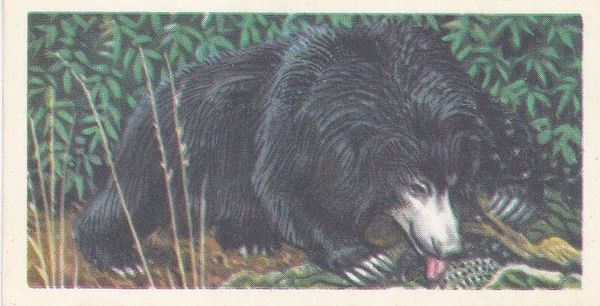 No. 22 Sloth Bear