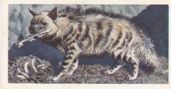 No. 23 Striped Hyena