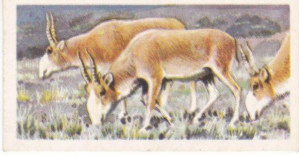 No. 34 Saiga