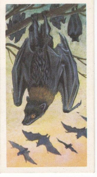 No. 09 Malay Fruit Bat