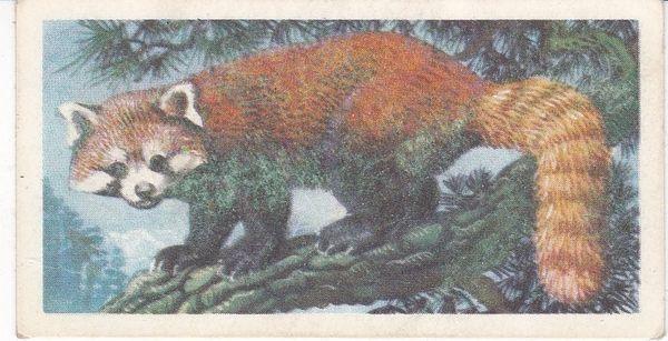 No. 21 Red Panda