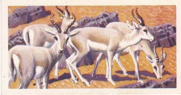 No. 36 Goitred Gazelle