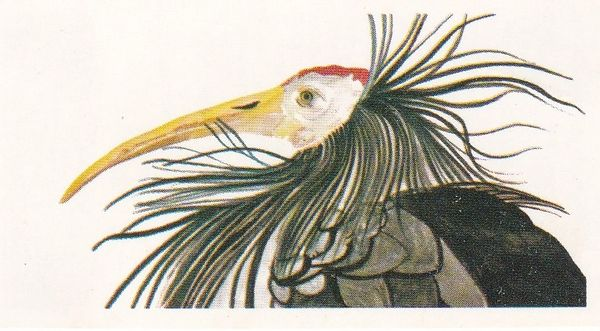 No. 16 Bald Ibis