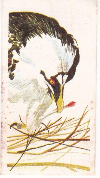 No. 20 Bearded Vulture (Lammergeir)