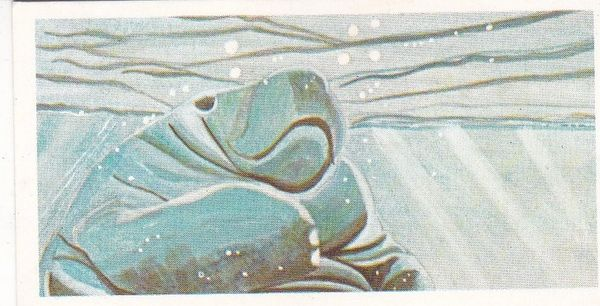 No. 21 West African Manatee