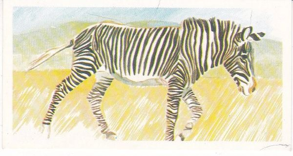 No. 23 Grevy's Zebra