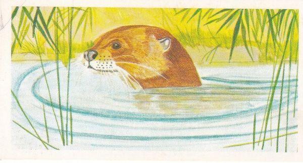 No. 32 Giant Otter