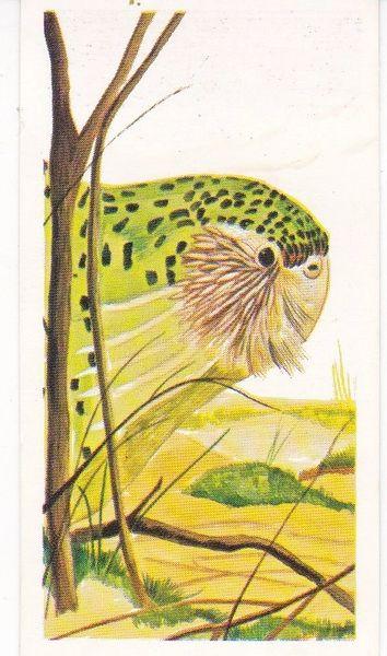 No. 35 Kakapo