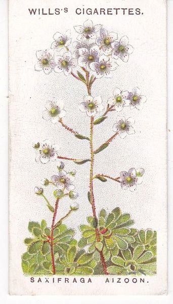 No. 37 Saxifraga Aizoon