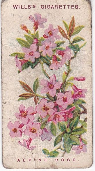 No. 45 Alpine Rose