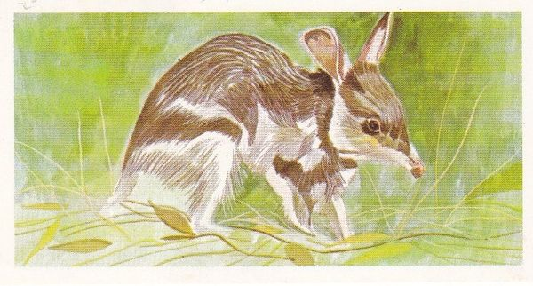 No. 34 Rabbit Bandicoot