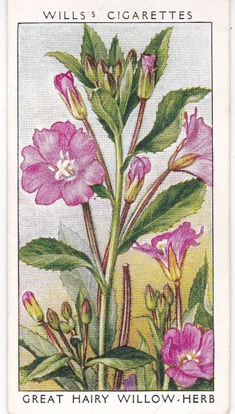 A Series adhesive No 48 Great Hairy Willow Herb