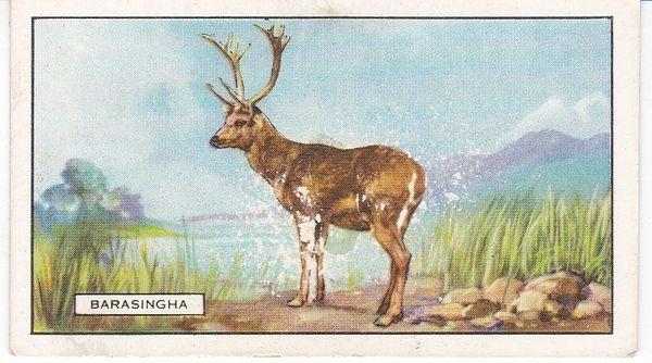No. 48 The Barasingha