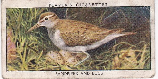 No.33 Sandpiper and Eggs