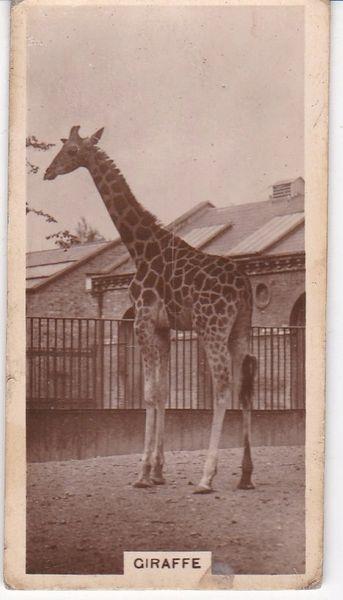 No. 06 Giraffe