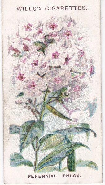 First Series No. 10 Perennial Phlox