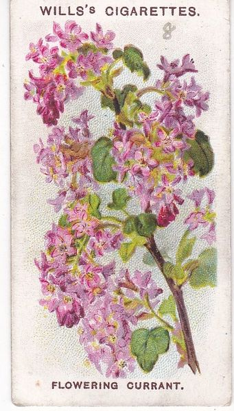 Second Series No. 08 Flowering Currant