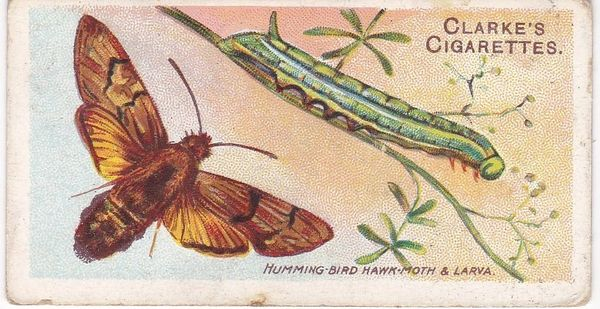No. 42 Humming Bird Hawk-Moth