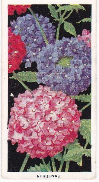 Cigarette Card: Carreras Flowers No 17 Verbenas