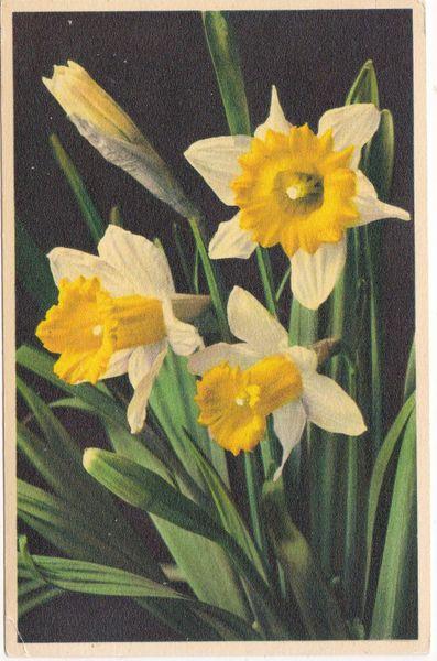 Postcard Narcissus