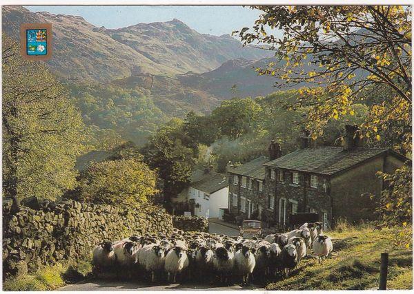 Postcard Cumbria Borrowdale Seatoller Driving Sheep
