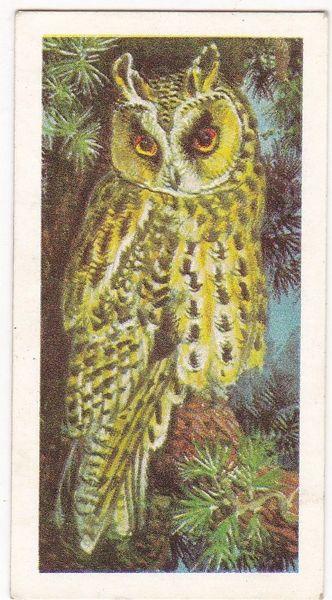 No. 34 Long-Eared Owl