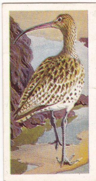 No. 26 Curlew