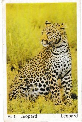 Trade Card Dandy Gum Wild Animals H 01 Leopard or Panther